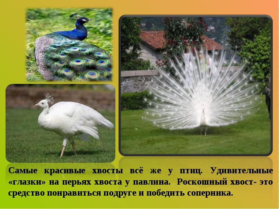 Самые красивые хвосты всё же у птиц. Удивительные «глазки» на перьях хвоста у...