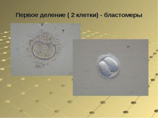 Первое деление ( 2 клетки) - бластомеры