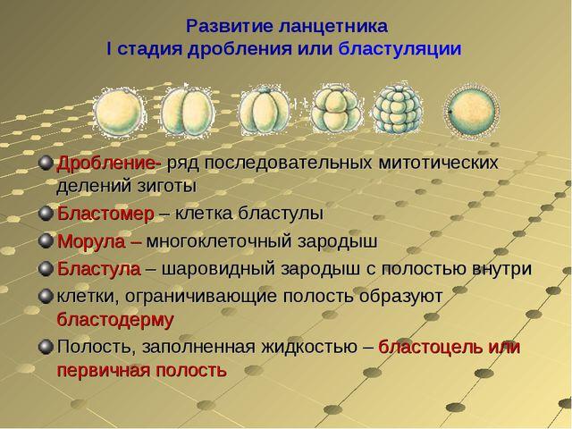 Развитие ланцетника I стадия дробления или бластуляции Дробление- ряд последо...