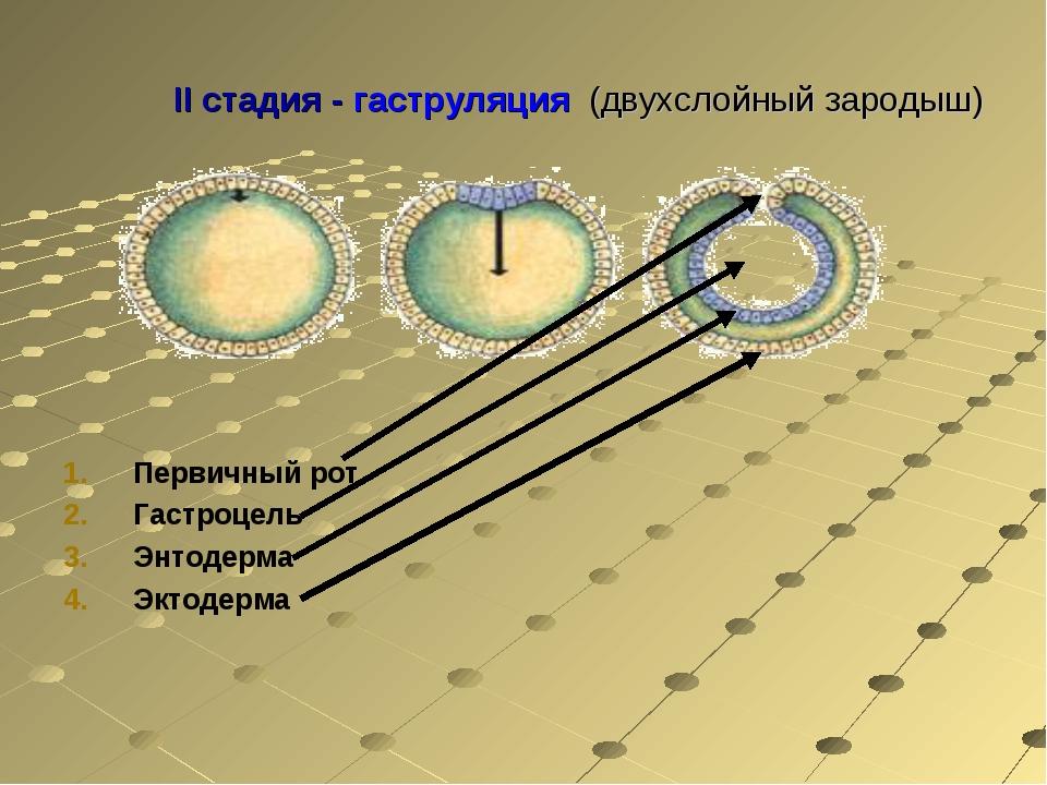 II стадия - гаструляция (двухслойный зародыш) Первичный рот Гастроцель Энтоде...