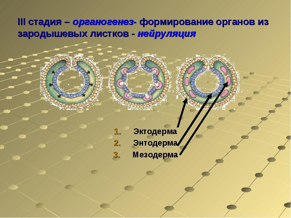 III стадия – органогенез- формирование органов из зародышевых листков - нейру...