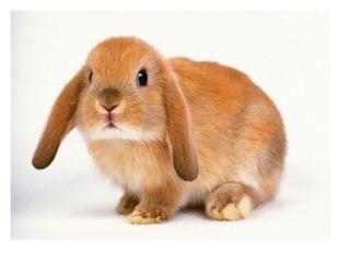 Длинное ухо, Комочек пуха, Прыгает ловко, Любит морковку.