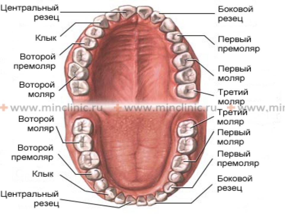 Верхний резец строение зуба