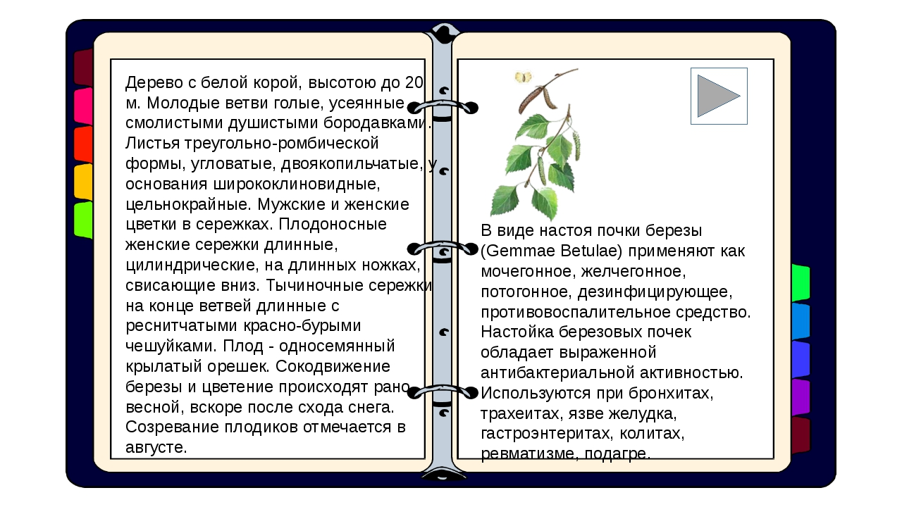 Дерево с белой корой, высотою до 20 м. Молодые ветви голые, усеянные смолисты...