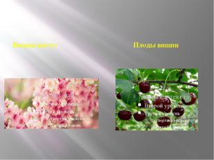 Вишня цветет Плоды вишни