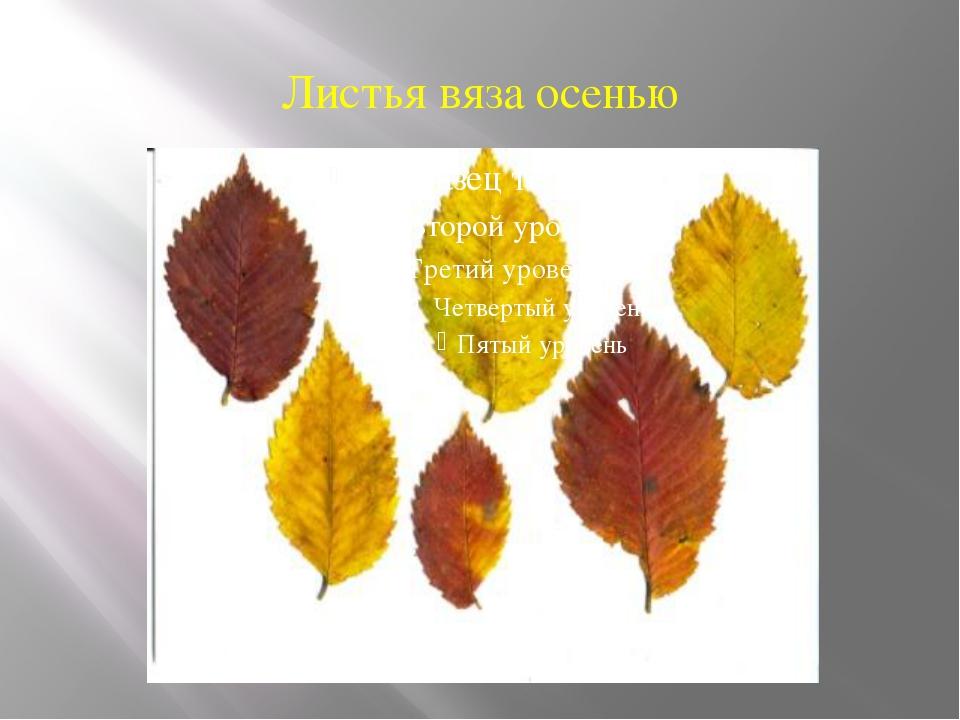 Листья вяза осенью