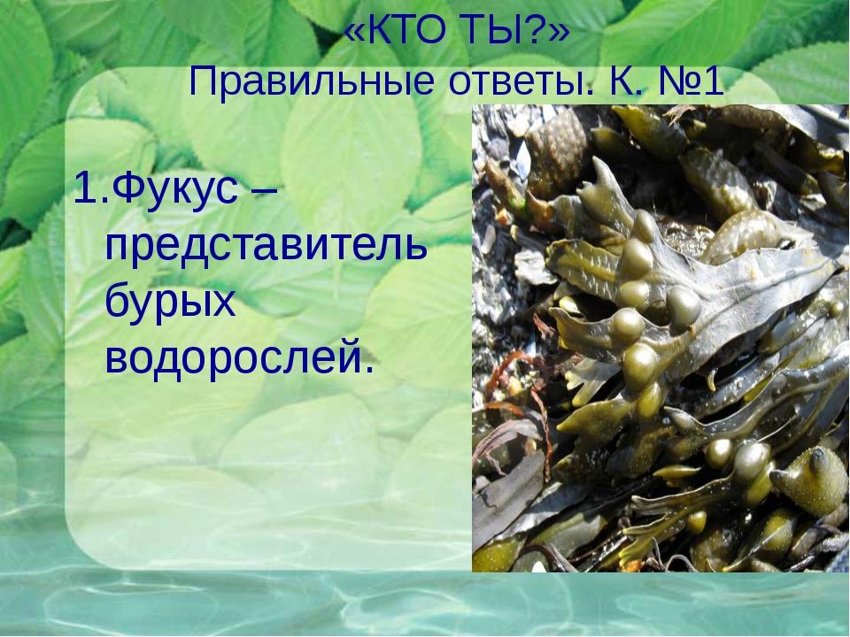 «КТО ТЫ?» Правильные ответы. К. №1 1.Фукус – представитель бурых водорослей.