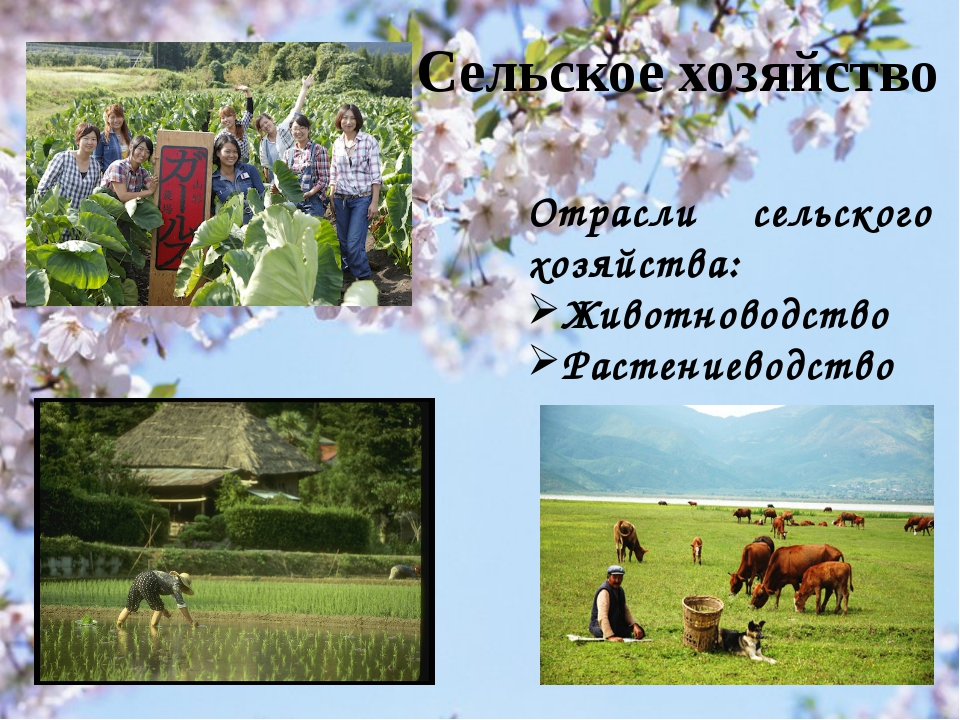Сельское хозяйство Отрасли сельского хозяйства: Животноводство Растениеводство
