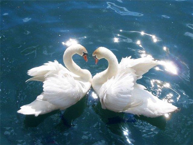 лебедь, белый лебедь, птицы, лебеди обои, белые лебеди, Скачать Обои и Фото