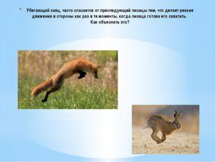 Убегающий заяц, часто спасается от преследующей лисицы тем, что делает резкие