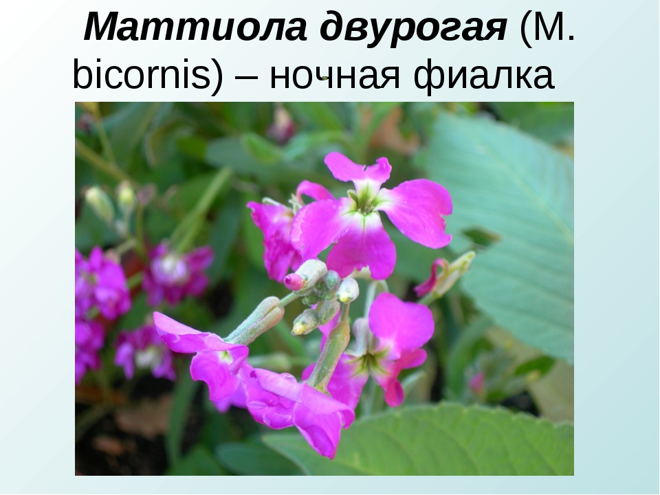 Маттиола двурогая(М. bicornis) – ночная фиалка
