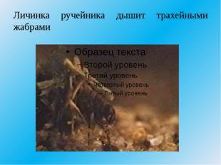 Личинка ручейника дышит трахейными жабрами