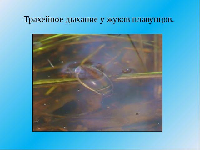 Трахейное дыхание у жуков плавунцов.