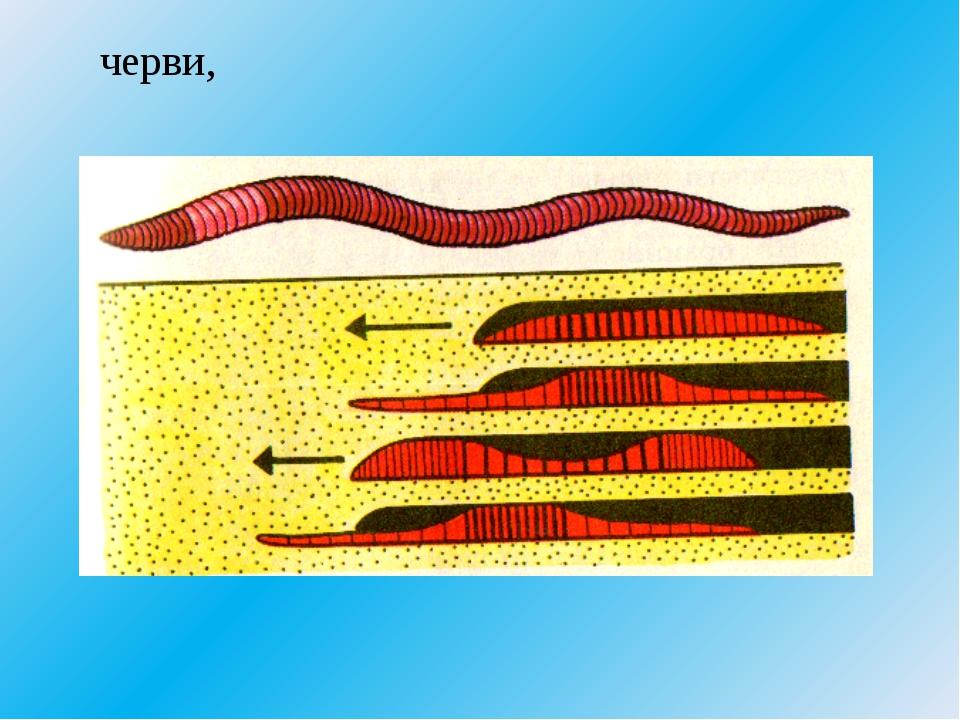 черви,