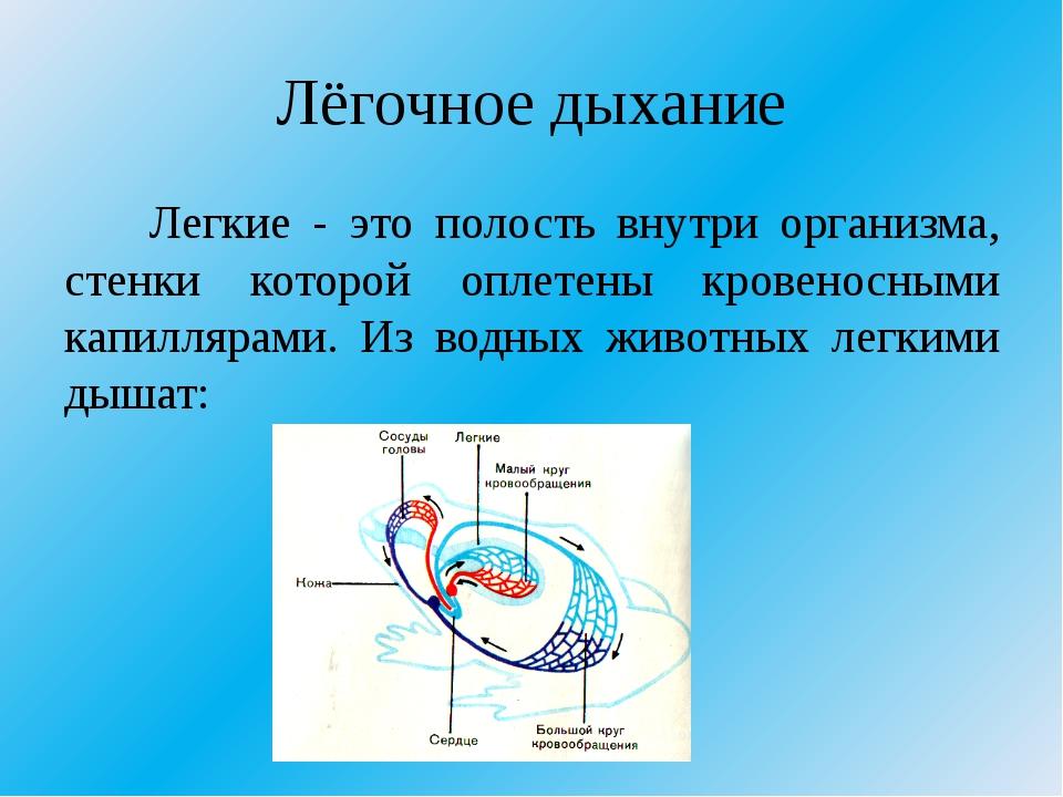 Лёгочное дыхание Легкие - это полость внутри организма, стенки которой оплете...