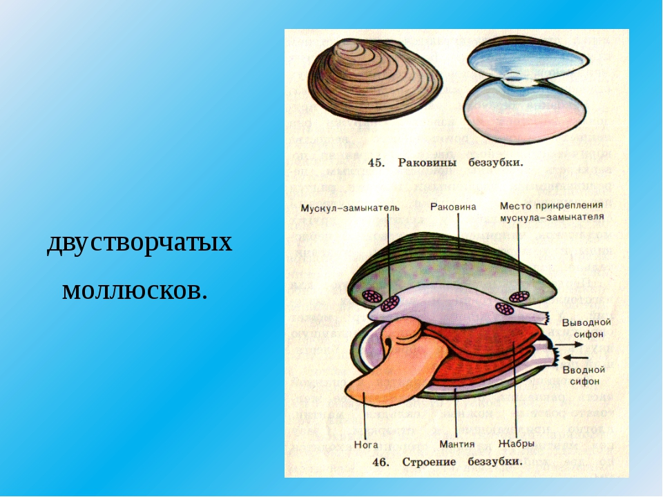 двустворчатых моллюсков.