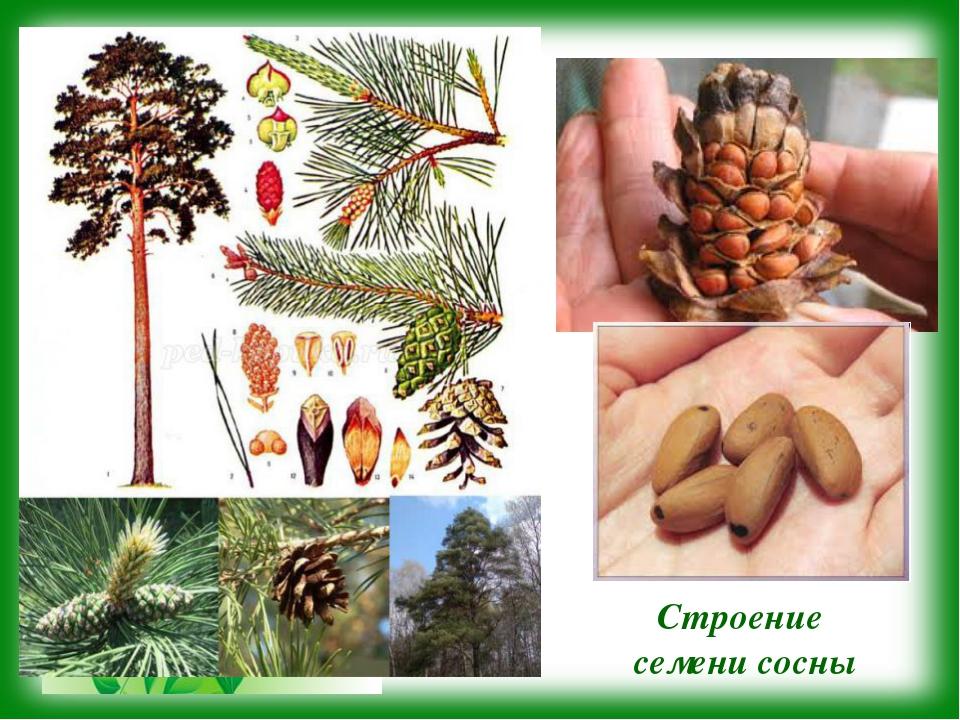 Строение семени сосны