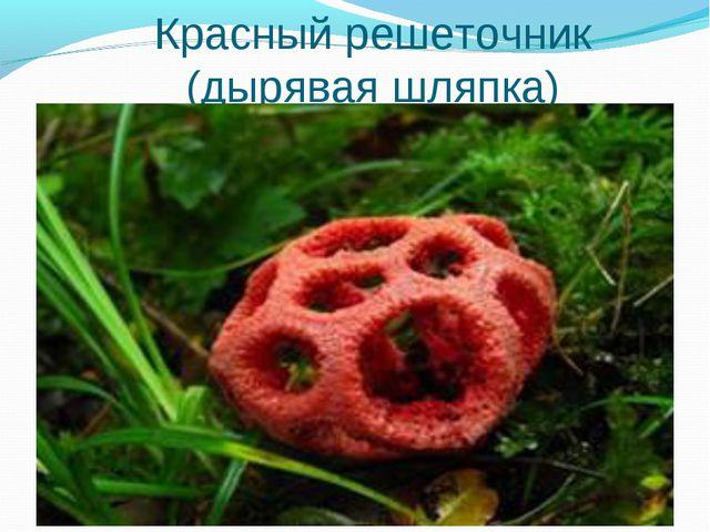Красный решеточник (дырявая шляпка) *