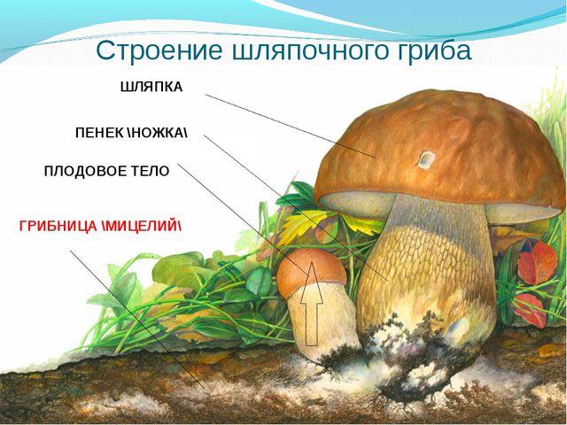 Строение шляпочного гриба ШЛЯПКА ПЕНЕК \НОЖКА\ ПЛОДОВОЕ ТЕЛО ГРИБНИЦА \МИЦЕЛИЙ\