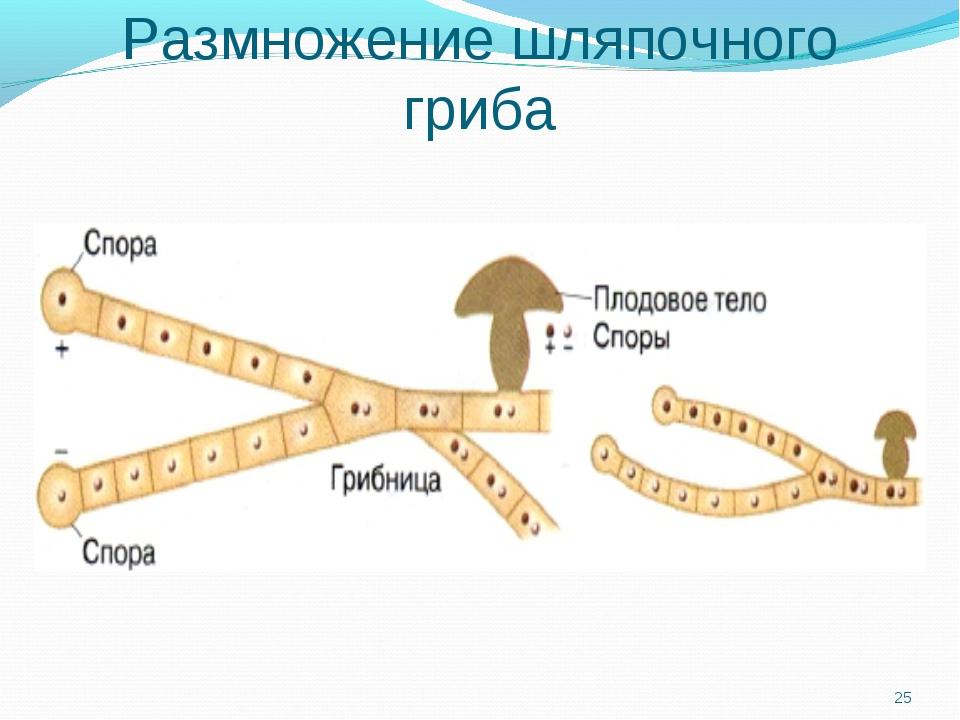 Размножение шляпочного гриба *