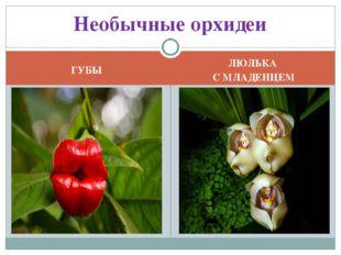 ГУБЫ ЛЮЛЬКА С МЛАДЕНЦЕМ Необычные орхидеи