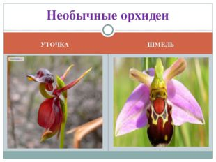 УТОЧКА ШМЕЛЬ Необычные орхидеи