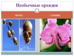 ЧЕРЕП СЛОНИК Необычные орхидеи