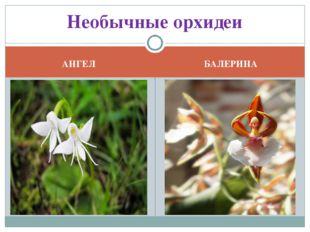 АНГЕЛ БАЛЕРИНА Необычные орхидеи