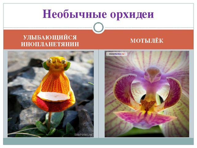 УЛЫБАЮЩИЙСЯ ИНОПЛАНЕТЯНИН МОТЫЛЁК Необычные орхидеи