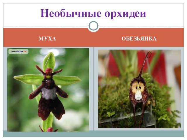 МУХА ОБЕЗЬЯНКА Необычные орхидеи