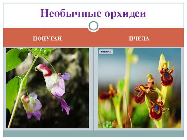 ПОПУГАЙ ПЧЕЛА Необычные орхидеи