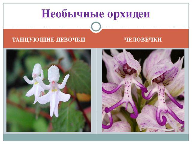 ТАНЦУЮЩИЕ ДЕВОЧКИ ЧЕЛОВЕЧКИ Необычные орхидеи