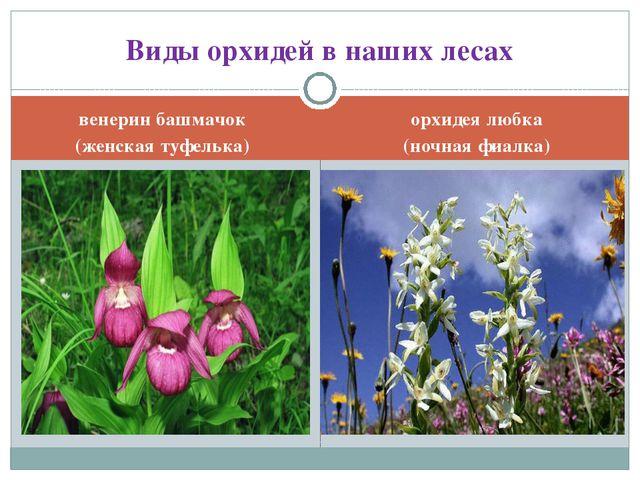 венерин башмачок (женская туфелька) орхидея любка (ночная фиалка) Виды орхиде...