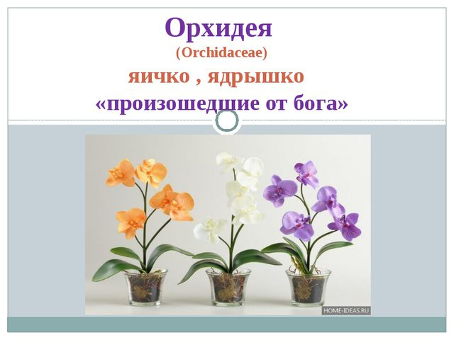 Орхидея (Orchidaceae) яичко , ядрышко «произошедшие от бога»