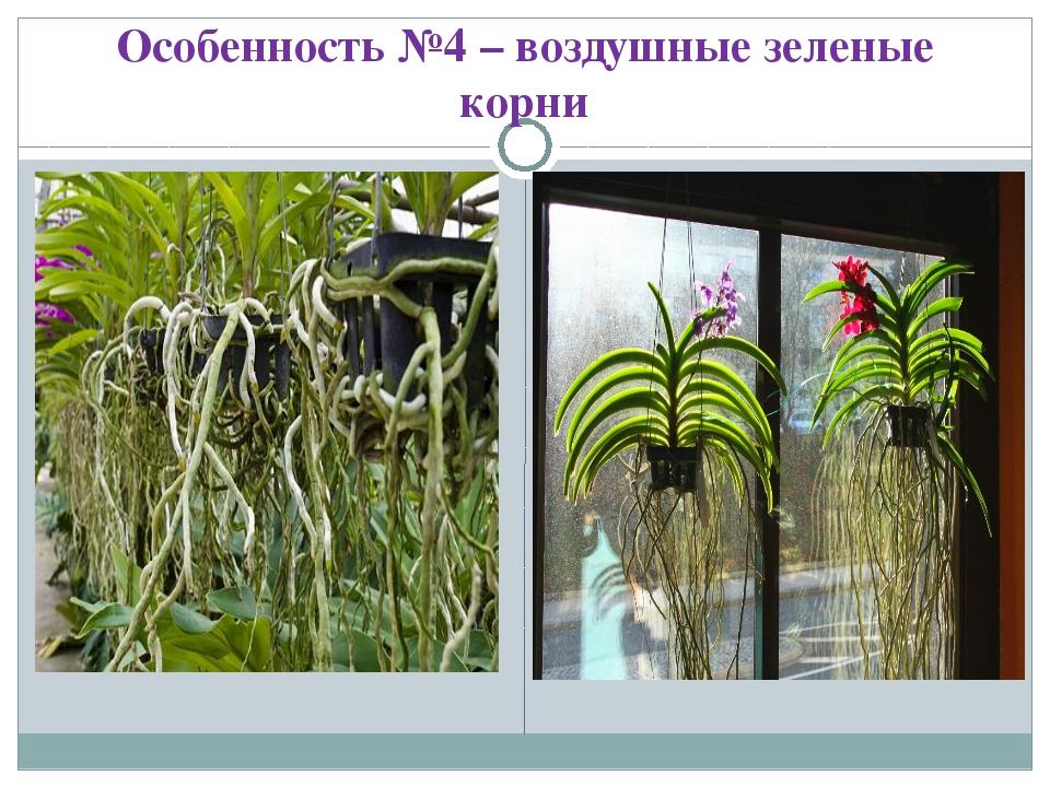 Особенность №4 – воздушные зеленые корни