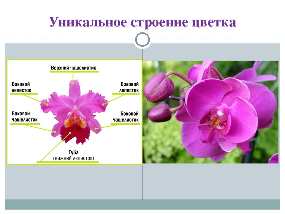 Уникальное строение цветка