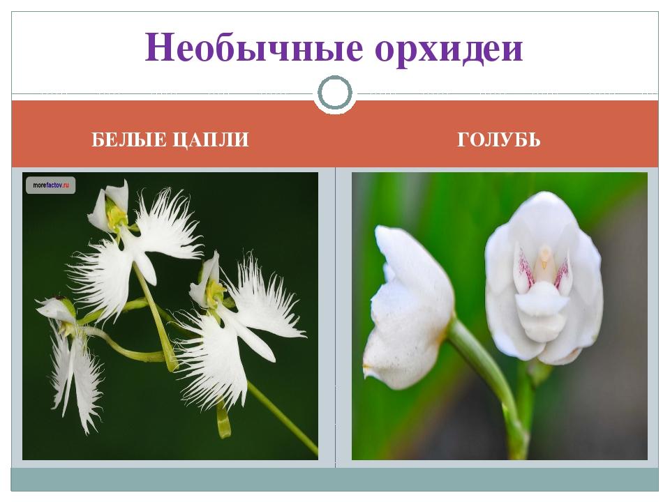 БЕЛЫЕ ЦАПЛИ ГОЛУБЬ Необычные орхидеи