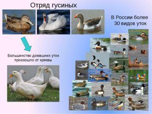 В России более 30 видов уток Отряд гусиных Большинство домашних уток произошл