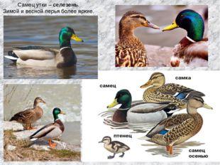 Самец утки – селезень. Зимой и весной перья более яркие.