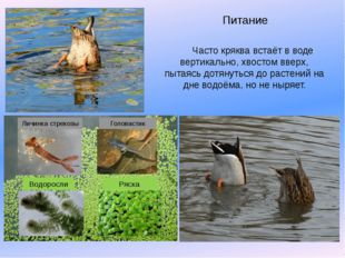 Питание Часто кряква встаёт в воде вертикально, хвостом вверх, пытаясь дотяну