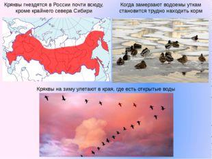 Кряквы гнездятся в России почти всюду, кроме крайнего севера Сибири Когда зам