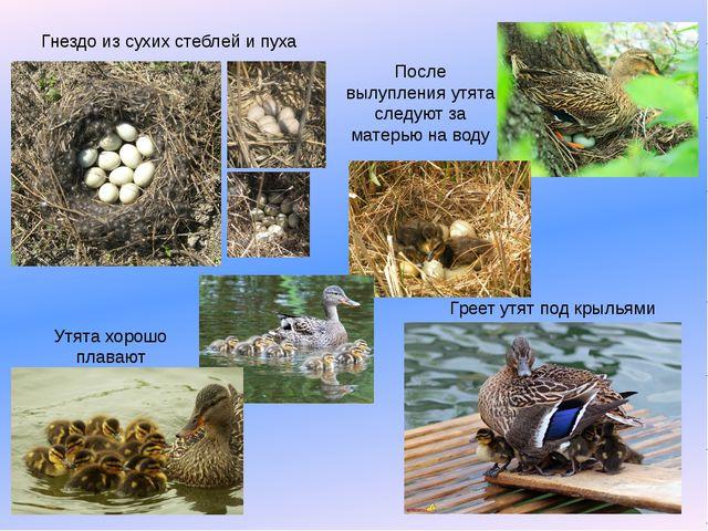 Греет утят под крыльями Гнездо из сухих стеблей и пуха Утята хорошо плавают П...