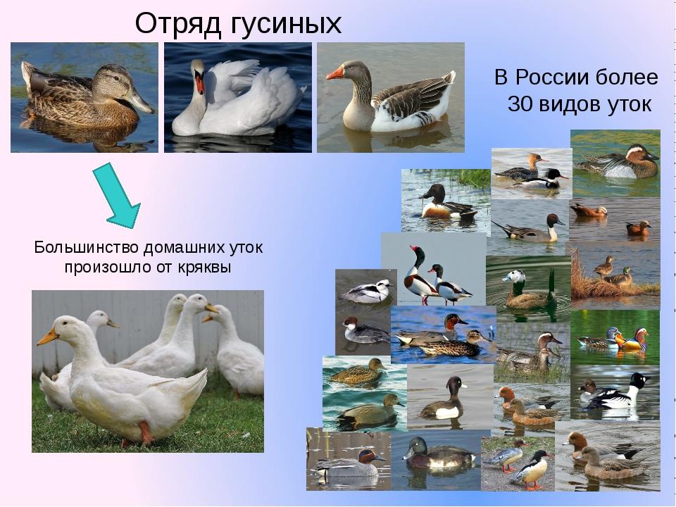 В России более 30 видов уток Отряд гусиных Большинство домашних уток произошл...