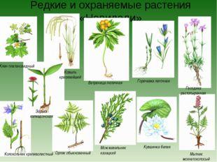 Редкие и охраняемые растения «Невидали» Можжевельник казацкий Кувшинка белая