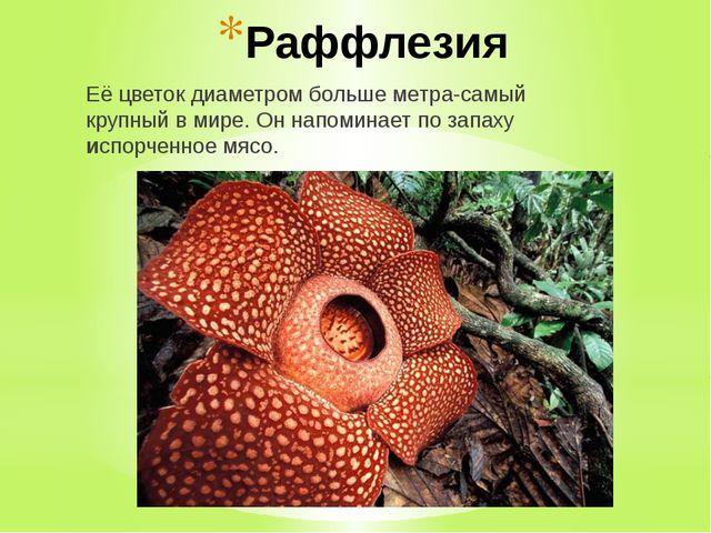 Раффлезия Её цветок диаметром больше метра-самый крупный в мире. Он напоминае...