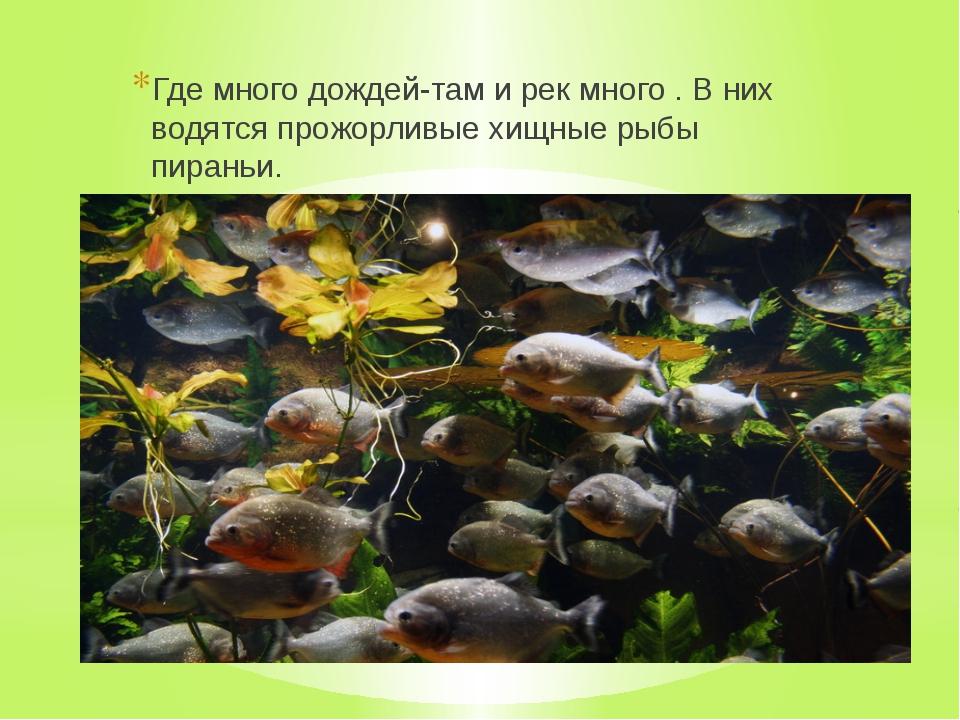 Где много дождей-там и рек много . В них водятся прожорливые хищные рыбы пир...