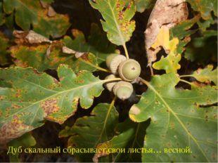 Дуб скальный сбрасывает свои листья… весной.