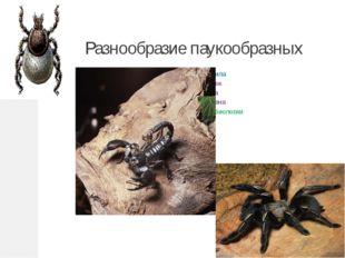 Разнообразие паукообразных Подготовила Кондратюк Светлана Васильевна учитель