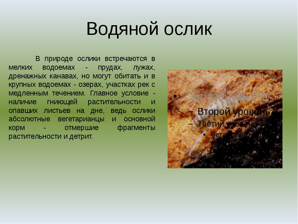 Водяной ослик В природе ослики встречаются в мелких водоемах - прудах, лужах,...