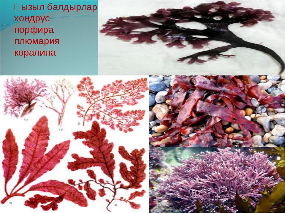 Қызыл балдырлар: хондрус порфира плюмария коралина